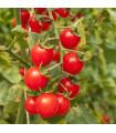 Paradajka červená Cherry - rajčiak - semená - 6 ks