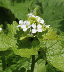 More about Cesnačka lekárska - Alliaria petiolata - predaj semien - 0,1 g