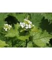 Cesnačka lekárska - Alliaria petiolata - predaj semien - 50 ks