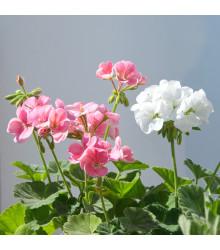 Muškát krúžkovaný - Horizon Picotee zmes - predaj semien pelargónií - Pelargonium zonale - 4 ks