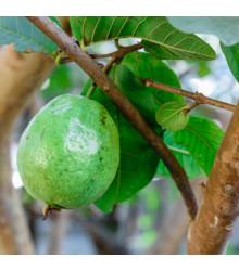 Guave - Psídium guajava - Guajava jablková - semená Guave - 4 ks