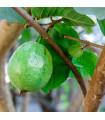 Guajava jablková - guava - Psidium guajava - semená guavy - 4 ks