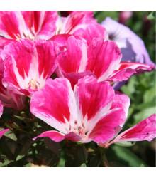 Godécia veľkokvetá - Godetia grandiflora - semená - 0,1 g
