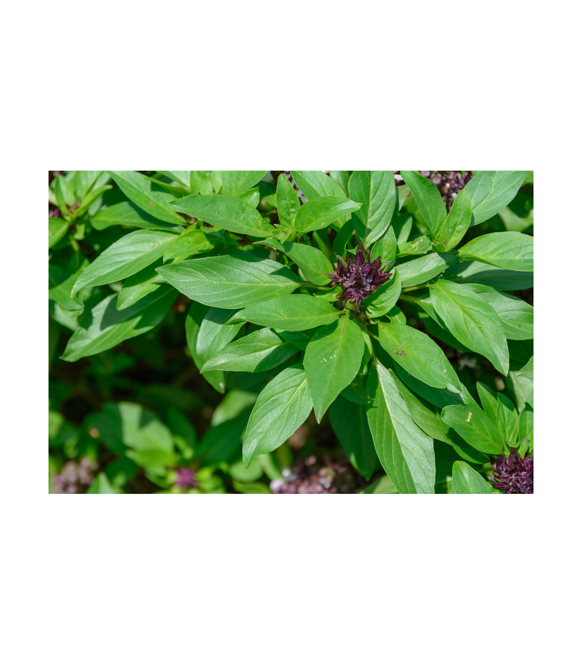 Bazalka Siam Queen - Ocimum basilicum - semená bazalky - 0,1 g