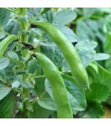Bôb záhradný Piccola - Vicia faba - predaj semien bôbu - 20 ks