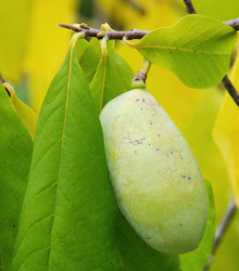 Banán severu - indiánsky banán Paw Paw - Asimina triloba - semená Asiminy - semiačka - 4 ks