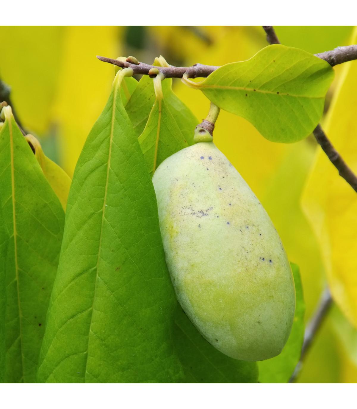 Asimina trojlaločná - Banán severu - Paw Paw - Asimina triloba - semená asiminy - 4 ks