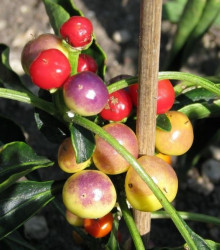 Chilli Nosegay - Capsicum annuum - predaj chilli semiačok - 5 ks