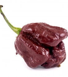 Chilli Trinidad Scorpion Moruga Chocolate - Capsicum sinense - 5 ks