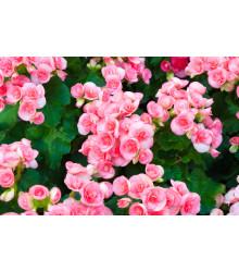 Begónia drobnokvetá ružová - Begonia multiflora - cibuľoviny - 2 ks