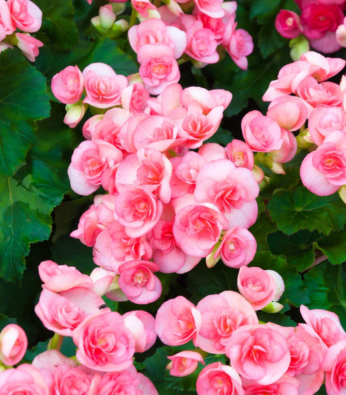 Begónia multiflora rúžová - predaj jarných cibuľovín - 2 ks