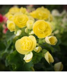 Begónia drobnokvetá žltá - Begonia multiflora maxima - cibuľoviny - 2 ks