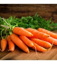 Mrkva Rotin - Daucus carota - semená mrkvy - semiačka - 1 gr