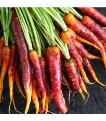 Mrkva Purple Haze - Daucus carota - semená mrkvy - 70 ks