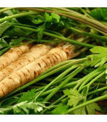 Paštrnák siaty Mitra - Pastinaca sativa - semená Paštrnáku - 1 gr