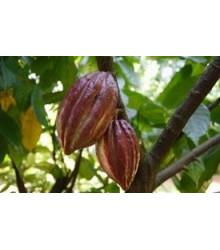 Kakaovník pravý - Theobroma cacao - semená Kakaovníka - semiačka - 5 ks