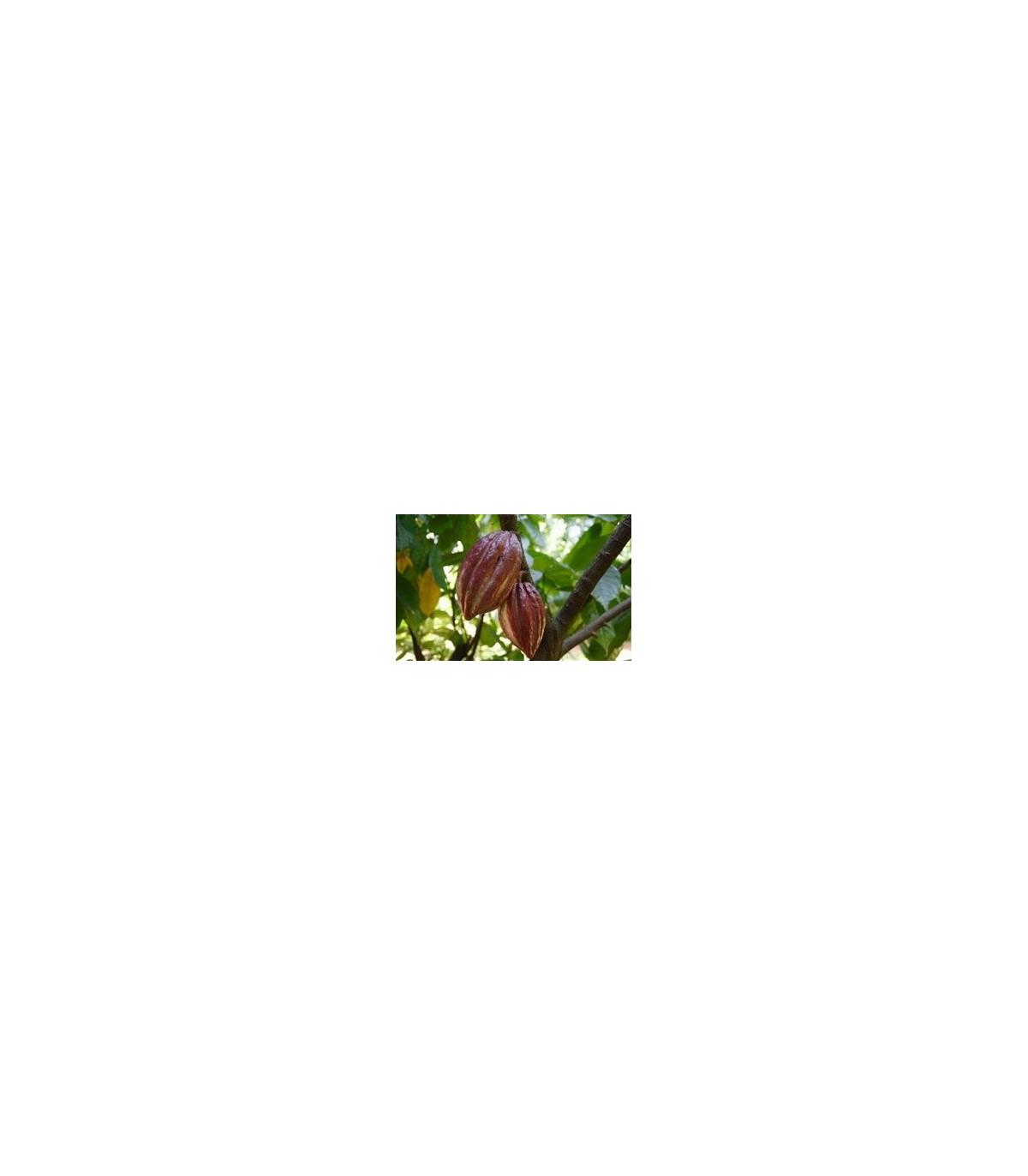 Kakaovník pravý- Theobroma cacao- semená Kakaovníka- 5 ks