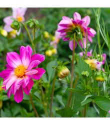 Georgína Sweetheart - Dahlia hybrida - cibuľoviny - 1 ks