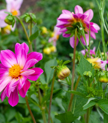 More about Georgína Sweetheart - Dahlia hybrida - cibuľoviny - 1 ks