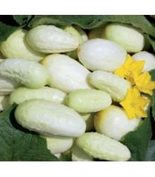 Uhorka - Biela - semená uhorky - semiačka - 5 ks