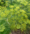Aníz- Pimpinella anisum- semená anízu- 900 ks