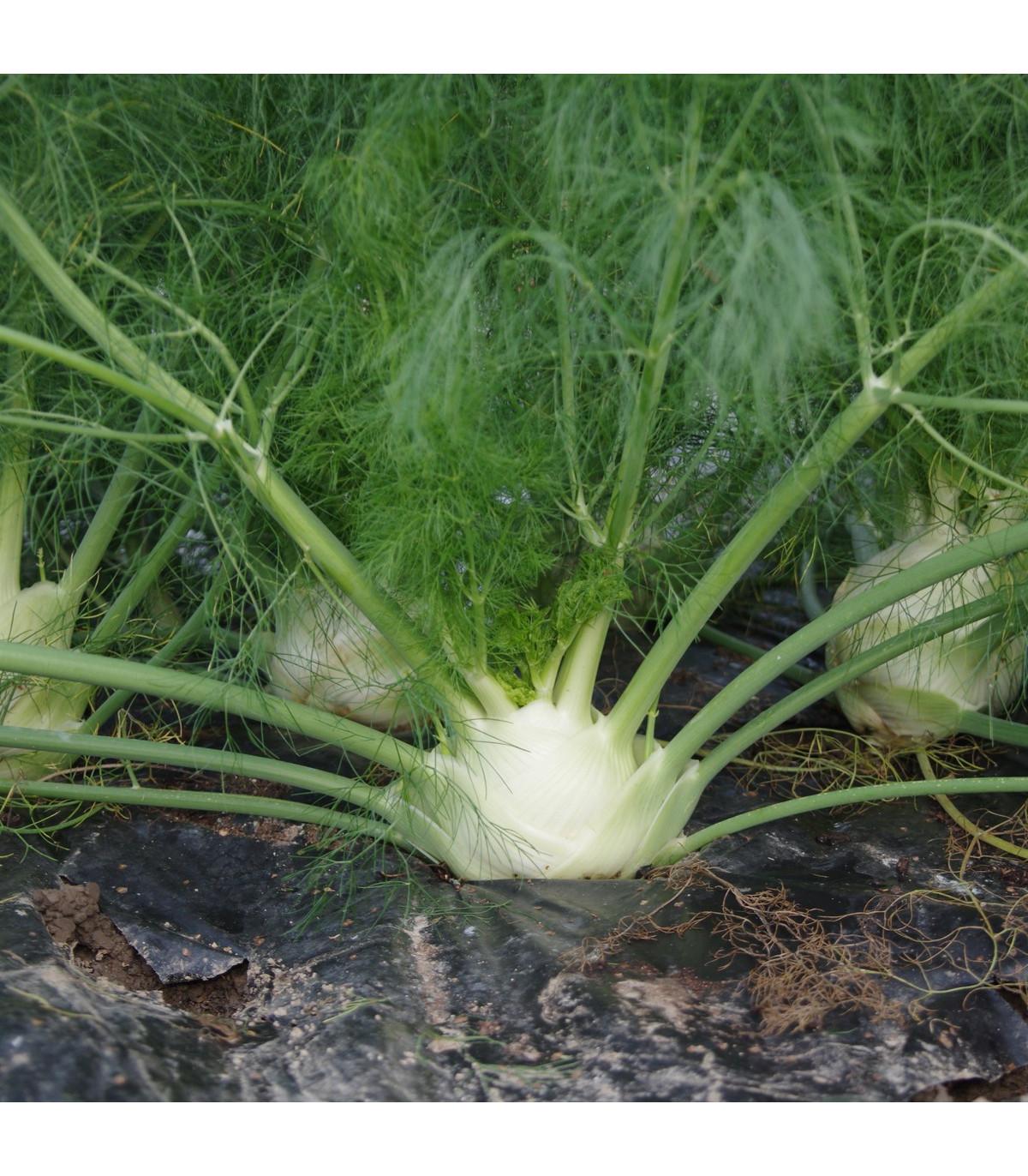 BIO fenikel buľvový Finale - Foeniculum ssp. - bio semená fenikla - 50 ks