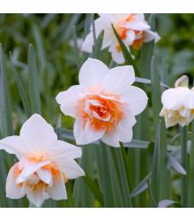 Narcis Replete - Narcisssus Replete - cibuľoviny - 3 ks