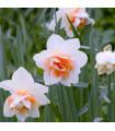 Narcis Replete - predaj cibuľovín - narcisy - 3 ks