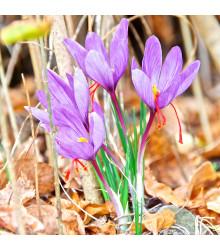 Krókus siaty - Crocus sativus - šafrán - cibuľoviny - 3 ks