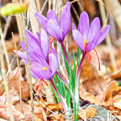 Šafrán siaty - Crocus sativus - cibuľoviny - 3 ks