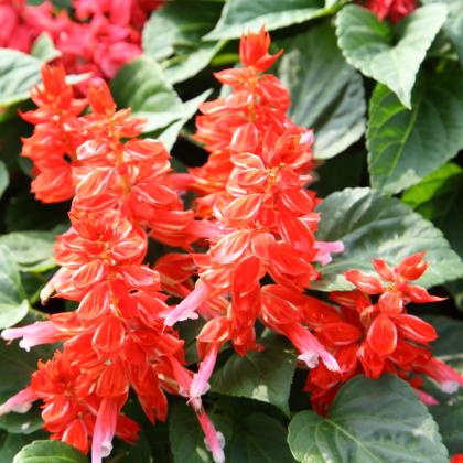 Šalvia žiarivá Blaze of fire - Salvia splendens - semená - 15 ks