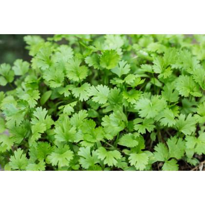 Koriander siaty Santo - Coriandrum sativum - semená koriandra - semiačka - 100 ks