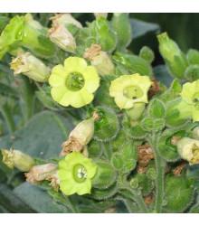 More about Tabak indiánsky slávnostný - semená Nicotiana rustica sacred - 50 ks