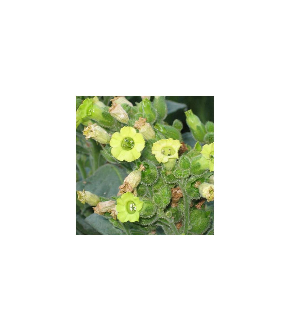 Tabak indiánsky slávnostný - semená Nicotiana rustica sacred - 50 ks