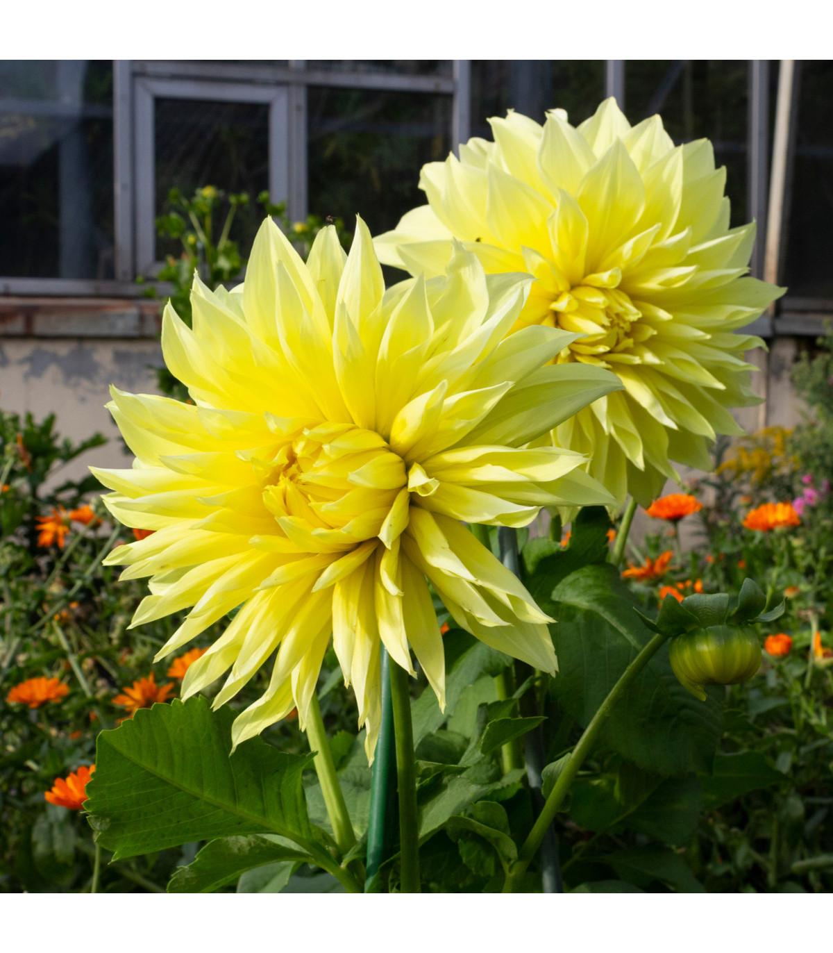Georgína Kenemerland žltá - Dahlia - cibuľoviny - 1 ks