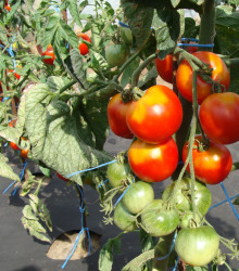 Paradajka stupická poľná skorá - Lycopersicon Lycopersicum - rajčiak - semená - 0,1 g