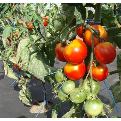 Paradajka stupická poľná skorá - kolíková - Lycopersicon Lycopersicum - predaj semien rajčiakov - 0,1 g