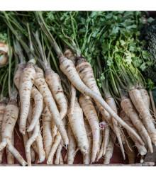 Paštrnák dlhý biely Halblange - Pastinaca sativa - semená - 1 g