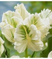 Tulipán Monte Carlo - podzimní cibuloviny - holandské tulipány - 3 ks