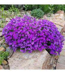 Tarička záhradná fialová - Aubrieta hybrida - semená - 200 ks