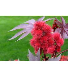 Ricín obyčajný - Ricinus communis - semená ricína - 3 ks