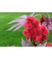 Ricín obyčajný - Ricinus communis - semená ricínu - semiačka - 3 ks