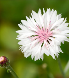 Nevädza poľná ružová - Centaurea cyanus - semená - 65 ks