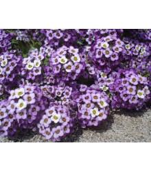 Lobulária prímorská Fialová kráľovná - Alyssum maritimum - semená - 1 g