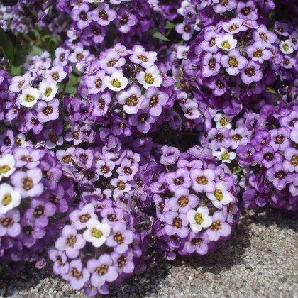 Lobulária prímorská fialová - Lobularia maritima - semená lobulária - semiačka - 1 gr