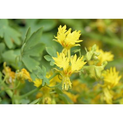 Kapucínka sťahovavá -Tropaeolum peregrinum-semená-15 ks