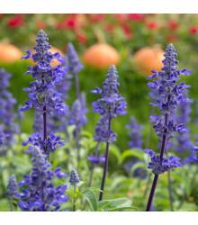 Šalvia modrá - Salvia farinacea - semená - 60 ks