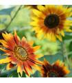 Slnečnica ročná F1 Fantázia - Helianthus annuus - semená slnečnice - semiačka - 6 ks