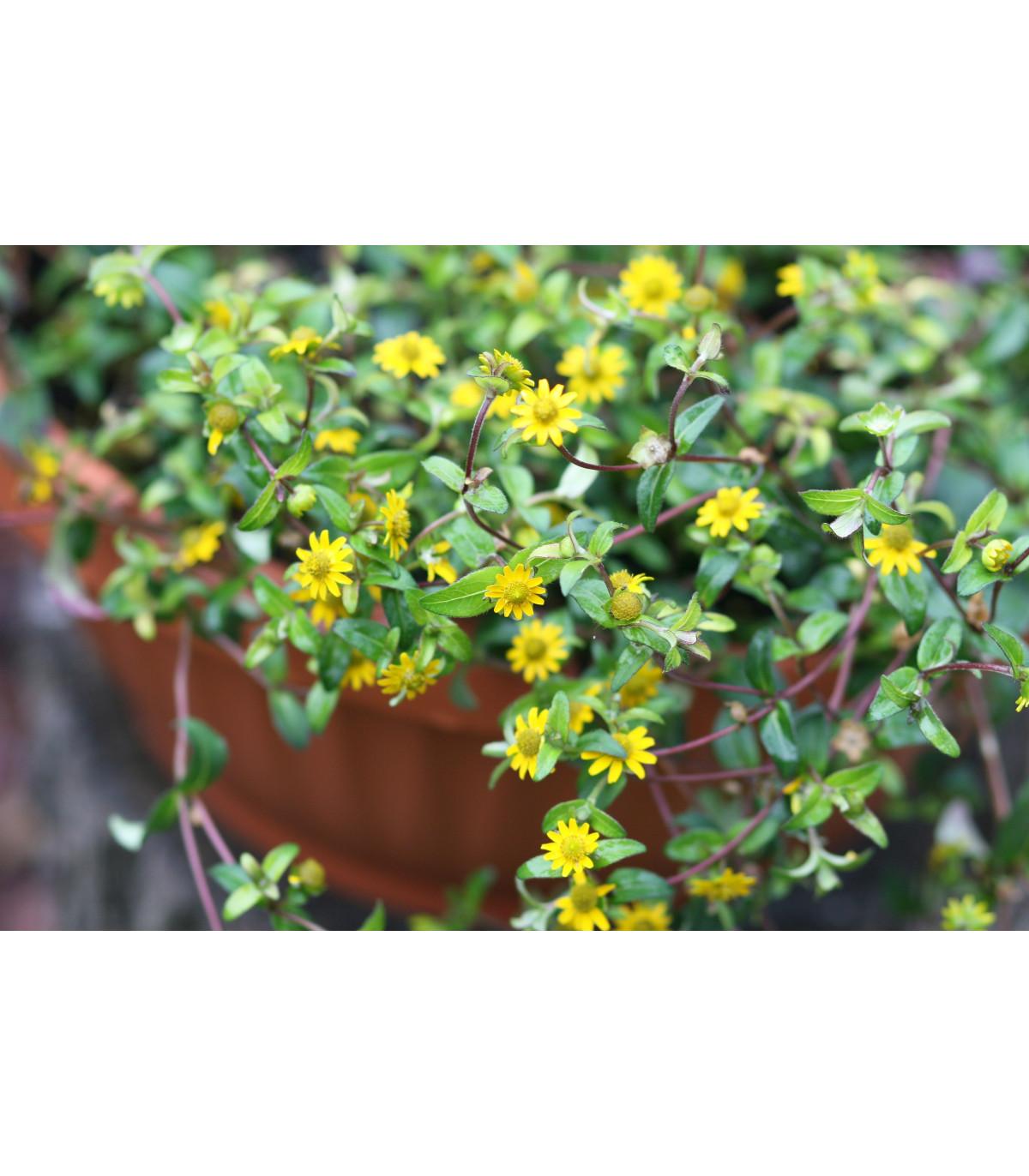 Sanvintália poliehavá - Sanvitalia procumbens - semená - 0,5 g