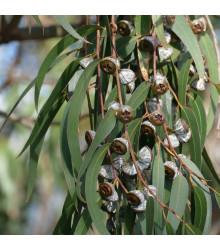 Eukalyptus globulus - semená eukalyptu - semiačka - 8 ks
